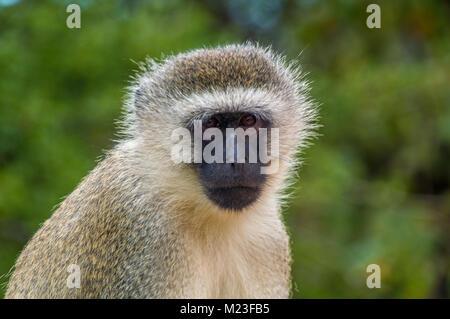 Nahaufnahme von einem Affen - Stockfoto