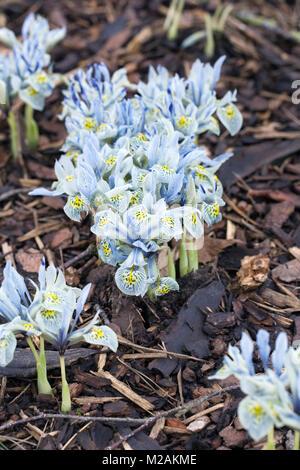 Iris 'Katherine Hodgkin' Blumen. - Stockfoto