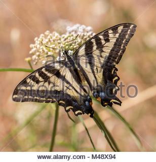 Anis-Schwalbenschwanz - Papilio Zelicaon - Fütterung aus Blütennektar - Stockfoto