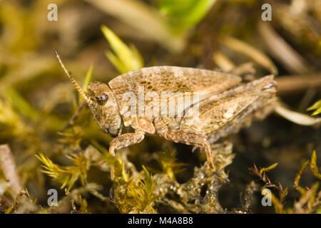Gemeinsame Groundhopper (Tetrix undulata) auf Moss - Stockfoto