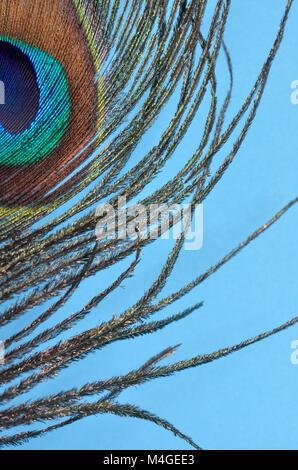 Makroaufnahme der Pfauenfedern auf blauem Hintergrund - Stockfoto