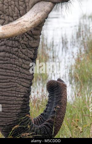 In der Nähe der Haut Muster und Texturen von Elefant Trinkwasser mit Tusk trunk Detail - Stockfoto
