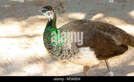 Schöne Pfau mit grüner Hals in Plaka Wald, Kos, Griechenland - Stockfoto