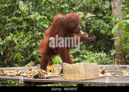 Wild Orang-utan (Pongo pygmaeus) Mutter und Kind essen Bananen auf Fütterung Plattform im Camp Leakey - Stockfoto