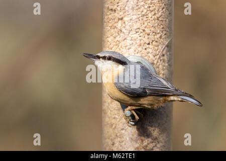 Kleiber (Sitta europaea) Der Besuch an einer Futterstelle an Vogel in Warnham Wildlife Reserve Horsham Großbritannien - Stockfoto