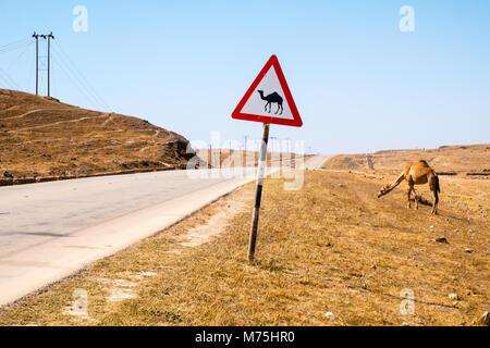Kamele oder Dromedare in Maskat, Sultanat Oman - Stockfoto