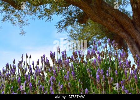 Alten Olivenbaum in einem Lavendelfeld - Stockfoto