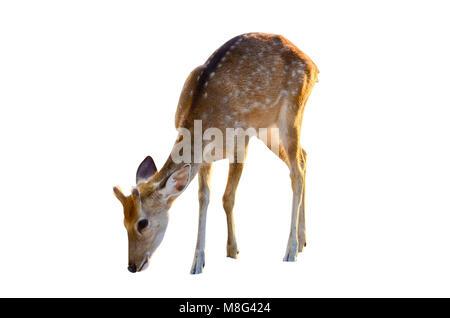 Baby Rotwild in weißen Hintergrund braune Punkte isoliert - Stockfoto