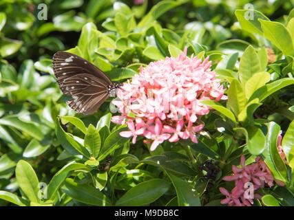 Gemeinsame Krähe Schmetterling auf zarten rosa Blüten in Darwin, Australien - Stockfoto