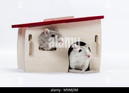 Häuslich Wüstenrennmaus (Meriones unguiculatus). Zwei Erwachsene in Retreat. Studio Bild auf weißem Hintergrund - Stockfoto