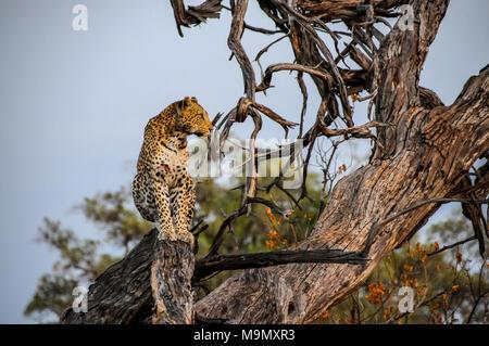 Junge Leopard auf einem Zweig in Chobe Nationalpark in Botswana posing - Stockfoto