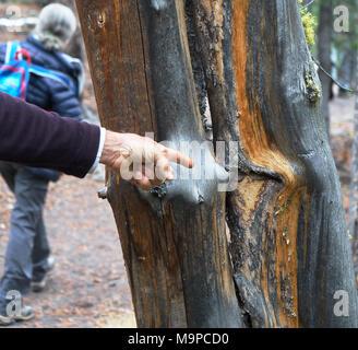 Nahaufnahme einer Hand, die auf Baumrinde im Yellowstone National Park. Frau wandern in Abstand - Stockfoto