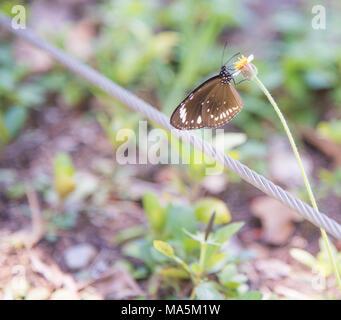 Gemeinsame Krähe Schmetterling auf blühende Pflanze, die in Darwin, Australien - Stockfoto