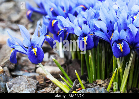 Blue Iris reticulata 'Joyce', Zwerg Iris - Stockfoto