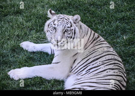 Eine white Bengal Tiger (Panthera tigris tigris) an der Cango Wildlife Ranch - Stockfoto