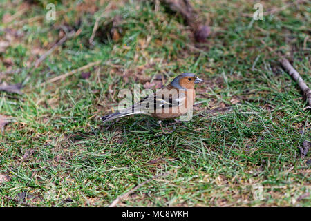 Freundlich bird Robin redbreast oder Europäischen Robin (Erithacus Rubecula) zwischen Gras in Glendalough Park, County Wicklow, Irland hocken - Stockfoto