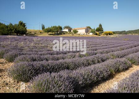 Lavendel-Feld in der Provence, in der Nähe von Sault, Frankreich - Stockfoto