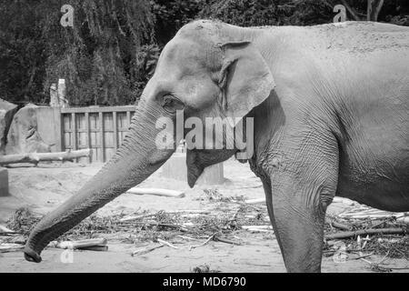 Schwarz Weiße Elefanten in Zoo - Stockfoto