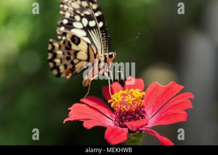Papilio demoleus Schmetterling oder Schwalbenschwanz Schmetterling, Kalk Schwalbenschwanz und die karierte Schwalbenschwanz. Nahaufnahme der Fütterung Schmetterling auf Zinnia - Stockfoto