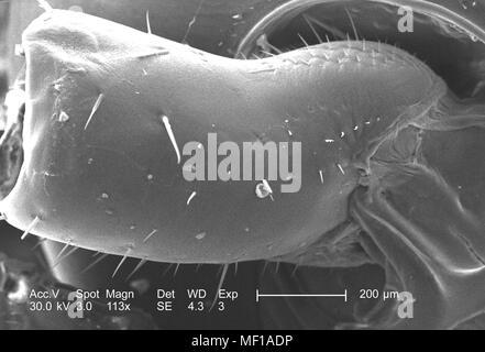 Erste Segment eines nicht identifizierten roach Leiter Region und Antenne, in der 113 x vergrößert Rasterelektronenmikroskopische (SEM) Bild 2005 dargestellt. Mit freundlicher Seuchenkontrollzentren (CDC)/Janice Haney Carr. () - Stockfoto