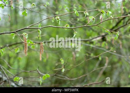 Hazel palmkätzchen im Frühling auf einem Ast mit Blätter auf verschwommenen Hintergrund. Corylus avellana - Stockfoto