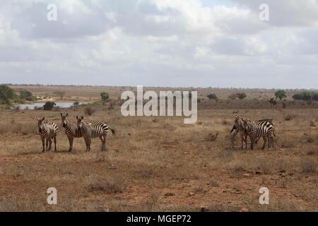 Eine Herde Zebras wandert mitten in der Savanne auf der Linse suchen, die Farben der Sava tendenziell Gelb, während in den Himmel steigen wh - Stockfoto