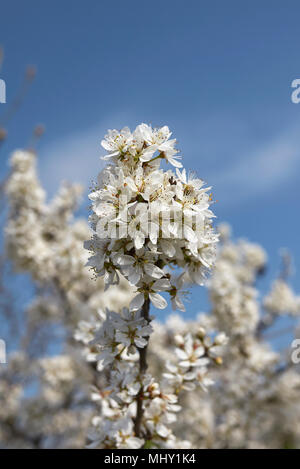 Prunus spinosa - Stockfoto