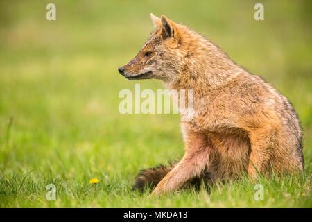 Europäische Schakal (Canis aureus moreoticus), Donaudelta, Rumänien - Stockfoto