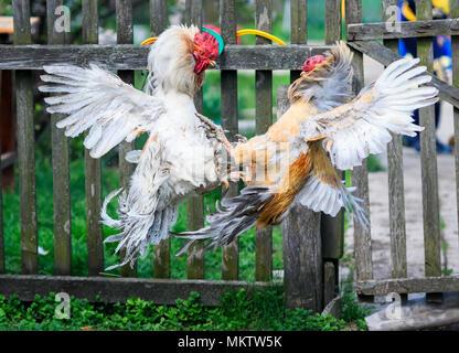 Zwei lebhaften aggressive Hahn Kampf im Hinterhof Farm Hohe hochfliegende und richtete die Federn - Stockfoto