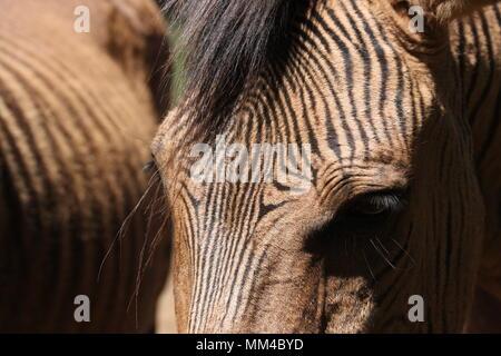 Nahaufnahme eines Zebroid-Zebra Pferd hybrid - Stockfoto