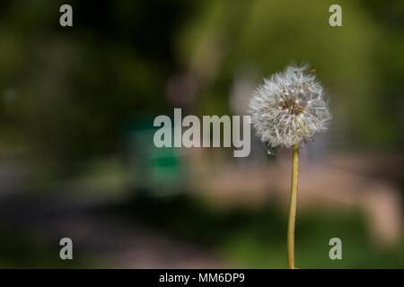 Bläst ein Löwenzahn Blume, um die Tageszeit zu messen. - Stockfoto