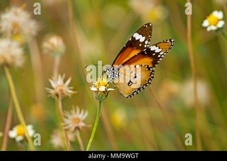 Farbenprächtige orangen und schwarzen Schmetterling Fütterung auf gelben und weissen Wildflower gegen hellgrüner Hintergrund, in Australien - Stockfoto