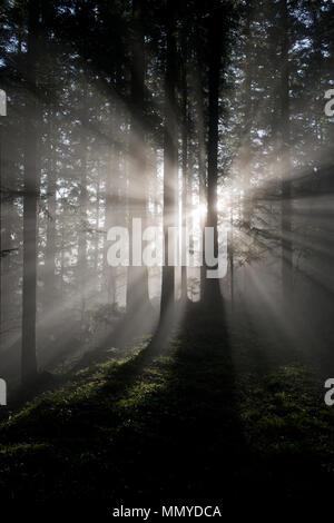 Sonnenstrahlen fallen radial durch einen dunklen und nebligen Wald von Nadelbäumen - Stockfoto