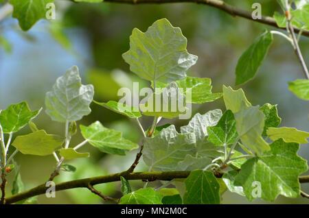 Weiß pappel Baum Blätter, weiße Unterseite des Blattes - Stockfoto