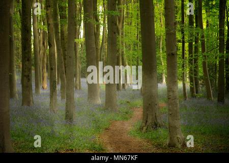 Bluebell Woods in ätherischen Licht - Stockfoto