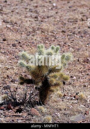 Grünen Kaktus in der Wüste von Arizona, USA - Stockfoto