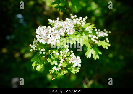 Weißdorn Blüte Erlestoke, Wiltshire - Stockfoto