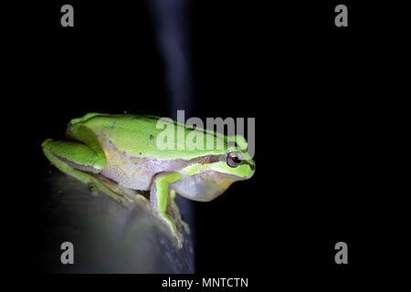 Die europäischen Grünen Laubfrosch, Hyla arborea, von Tag zu Tag ausruhen, quaken in der Nacht in der Natur in einem Zypern Garten. - Stockfoto