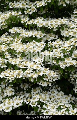 Viburnum plicatum f. tomentosum 'Nanum semperflorens'. Japanischer Schneeball 'Nanum semperflorens' Strauch in Blüte. Großbritannien - Stockfoto