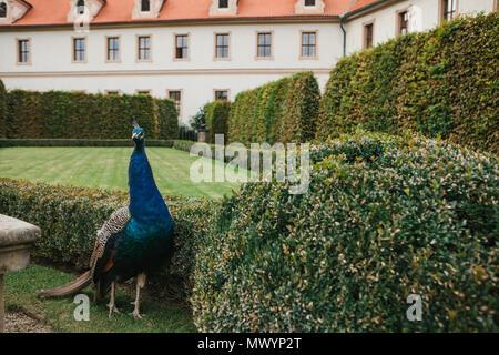 Eine schöne Pfau in der Waldstein Garten in Prag in der Tschechischen Republik - Stockfoto