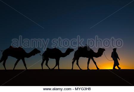 Kamele folgen einem Führer über Sanddünen in der Wüste Sahara in Marokko. - Stockfoto
