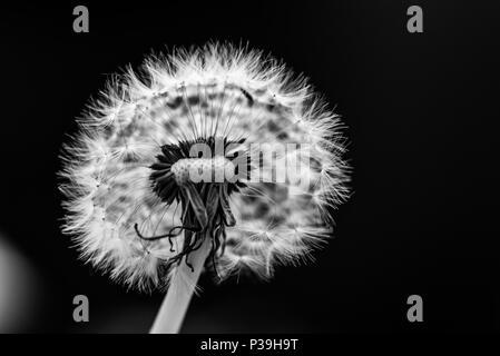 Löwenzahn Blume Saatgut - Stockfoto