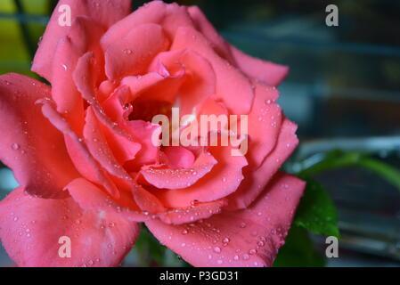 Ehrlichkeit Tropfen Wasser auf einen flauschigen Knospe einer orange rosa Rose mit schönen trockenen Blütenblätter - Stockfoto