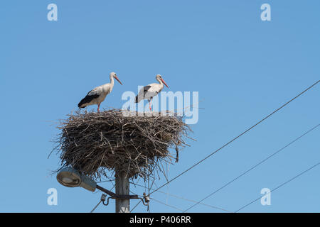 Weißstörche (Ciconia ciconia), ein paar stehen auf Nest auf elektrische Pole, Ukraine, Europa - Stockfoto
