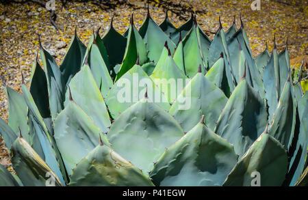 Nahaufnahme der symmetrischen Artischocke saftig, heimisch in Durango, Mexiko - Stockfoto