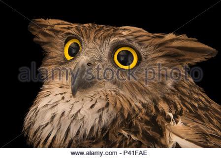 Brown fish Owl, Ketupa zeylonensis orientalis, in Phnom Tamao Wildlife Rescue Center. - Stockfoto