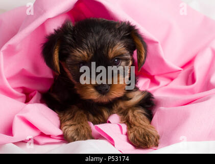 Welpen Yorkshire Terrier close-up in rosa Tuch - Stockfoto