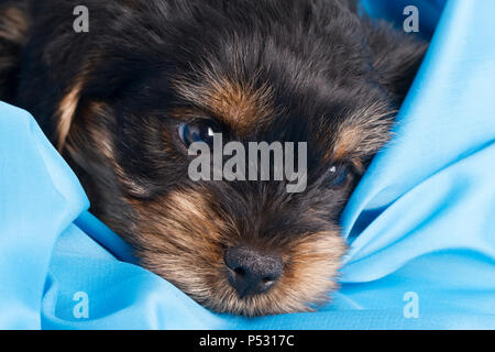 Welpen Yorkshire Terrier close-up in blau Tuch - Stockfoto