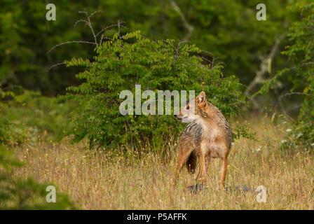 Golden Schakal-Canis aureus, wilden fleischfressenden Säugetiere aus der Alten Welt von Wäldern und Hügeln, Ost Rodope Berge, Bulgarien. - Stockfoto