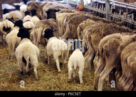 Neue Kaetwin, Deutschland - junge dorper Schafe in einen Laufstall - Stockfoto
